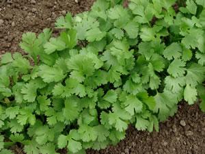 Koriander anbau coriandrum sativum pflanzen und pflege for Koriander pflanzen