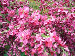 Ginster rosa