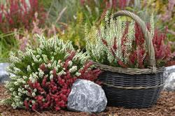 herbstbepflanzung im garten balkonk sten terrasse auffrischen. Black Bedroom Furniture Sets. Home Design Ideas
