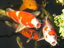 Koi karpfen kosten und haltung for Teichfische arten