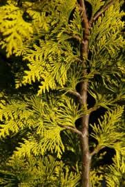 gelbe scheinzypresse pflege schneiden pflanzen. Black Bedroom Furniture Sets. Home Design Ideas