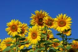 sonnenblumen pflanzen pflege f r maximale h he. Black Bedroom Furniture Sets. Home Design Ideas