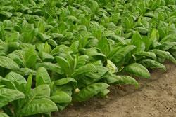 tabakpflanze pflege anbauen z chten standort samen. Black Bedroom Furniture Sets. Home Design Ideas
