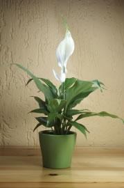 zimmerpflanzen im schlafzimmer empfehlenswerte pflanzen. Black Bedroom Furniture Sets. Home Design Ideas