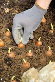 zwiebeln gem sezwiebeln anbauen aussaat pflanzen und. Black Bedroom Furniture Sets. Home Design Ideas