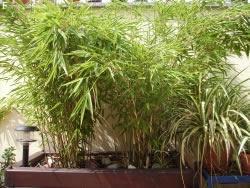 himmelsbambus nandina domestica standort pflanzen pflege. Black Bedroom Furniture Sets. Home Design Ideas