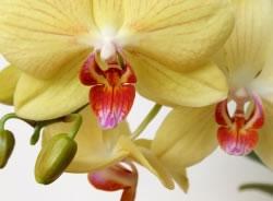 orchidee bl ten fallen ab und vertrocknen. Black Bedroom Furniture Sets. Home Design Ideas